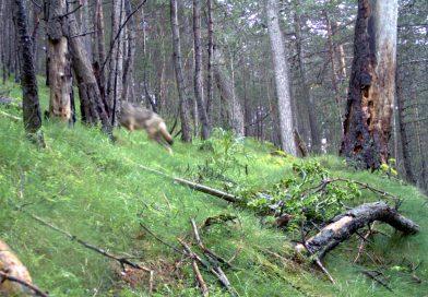 Els ramaders demanen mesures de protecció i compensacions pels atacs del llop