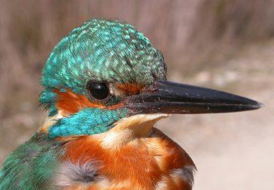 El cens d'ocells aquàtics hivernants al Solsonès observa un centenar d'exemplars d'onze espècies diferents